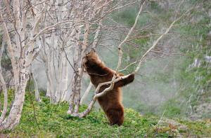 Медведь и береза