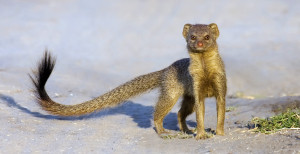 Slender-Mongoose