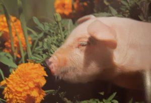 Свин 2